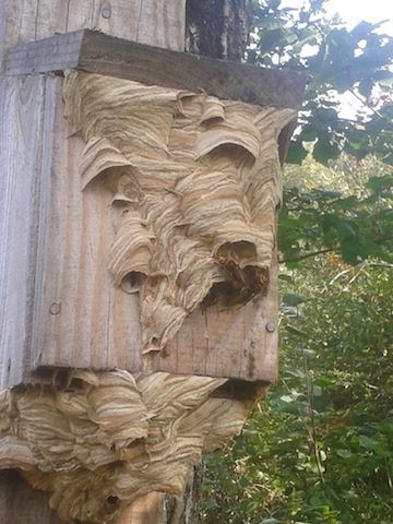Hornets nest, Woodah, Sept 14.jpg