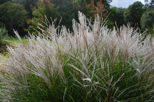 Ornamental grass Miscanthus.JPG