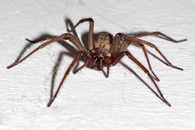Tegenaria spider-1737118.jpg