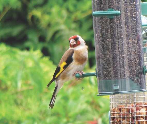 Carduelis_carduelis_-United_Kingdom_-garden_bird_feeder-8.jpg