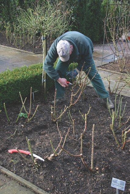 4. Pruning roses in Queen Mother's Rose Garden.JPG