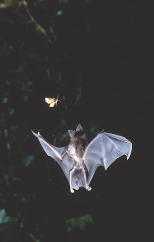 Greater Horseshoe Bat in flight -credit Frank Greenaway.jpg