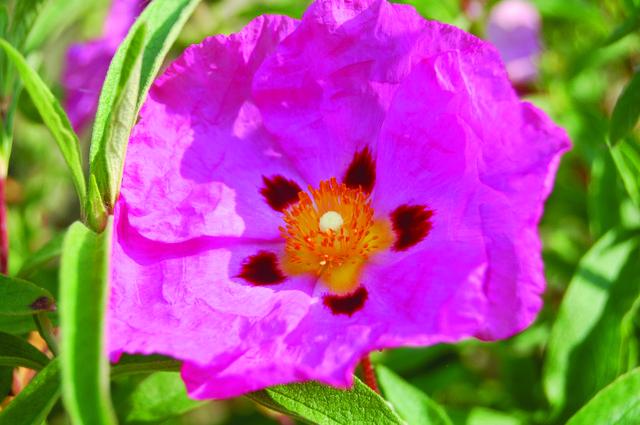 Cistus purpureus.JPG