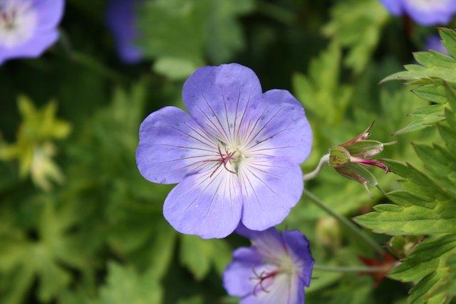 3. Geranium ROZANNE 'Gerwat' PBR AGM credit Sheila Dearing.JPG