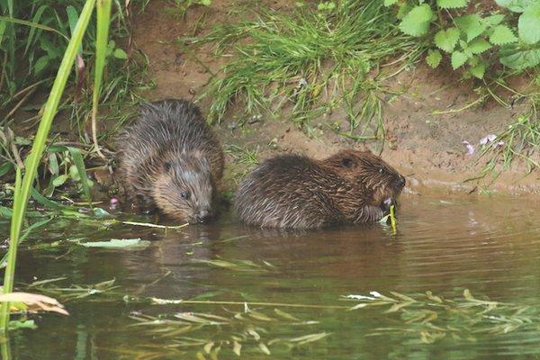 Beaver kits 2 (Mike Symes) 2.jpg