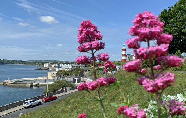 Wild flowers on Plymouth Hoe