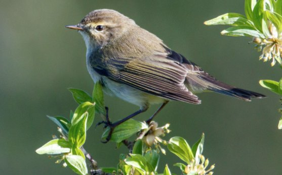 Chiffchaff perched on branches