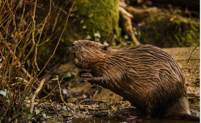 Beryl the beaver joined Brian in January