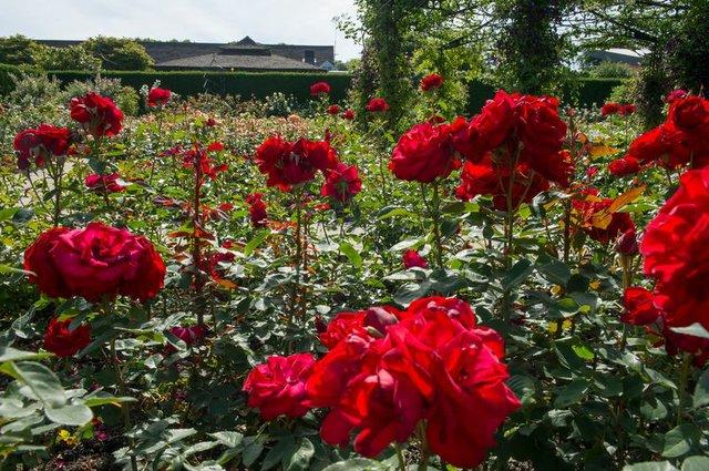 The Queen Mother's Rose Garden in summer at RHS Garden Rosemoor