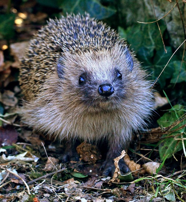 Hedgehogs are now classified as 'vulnerable to extinction'