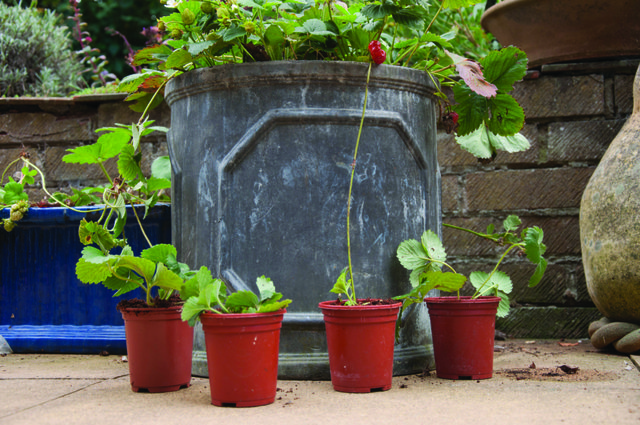 Potting up strawberry runners