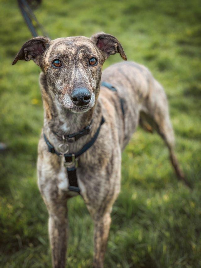 Connor the greyhound