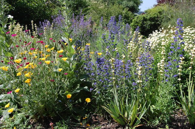 Easy annuals vipers bugloss, Californian poppy, ox eye daisy.JPG