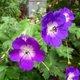 Geranium rozanne.jpg