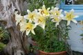 Oriental lilies.JPG